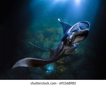"""Graceful Manta Ray"" Mantas can be 15 feet across but they swim in a languid and graceful manner.  This one was photographed at night off the coast of Kona Hawaii while feeding on plankton."