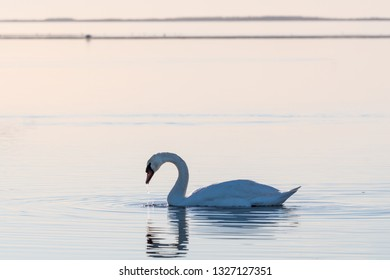 Graceful Mute Swan, Cygnus olor, swimming in calm water by the swedish island Oland in the Baltic Sea