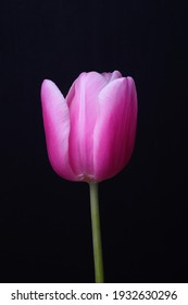 A graceful pink tulip on a slender green leg is photographed on a black background