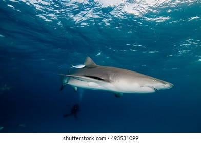 A graceful shark swimming through the clear blue water of the Bahamas