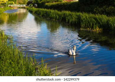 Graceful swan in the centre of the river in Somerset England near Taunton