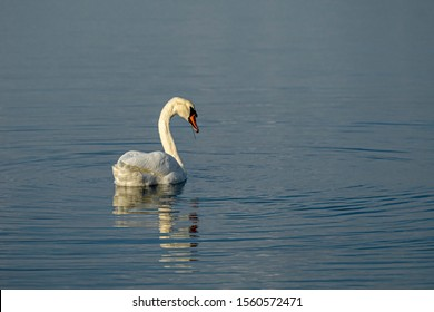 Graceful Swans at Sea in November