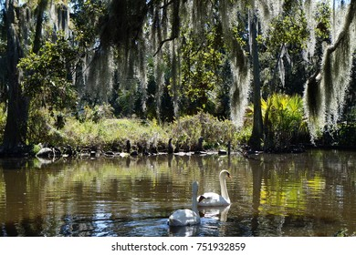 Graceful swans swimming underneath Spanish moss