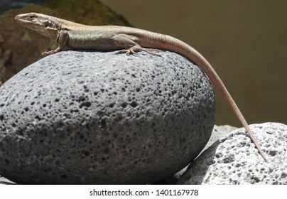Graceful Tenerife lizard (Gallotia galloti, female) on egg shape black lava stone.