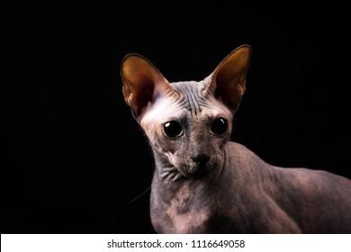 Donskoy Cat Images Stock Photos Vectors Shutterstock