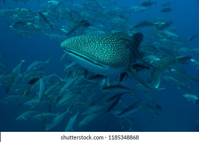 The graceful Whale Shark with a maelstrom of fish swimming in Andaman sea,Thailand. Biggest fish in the Ocean. Amazing dive.