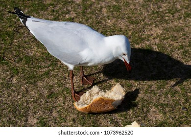 A graceful white seagull is pecking at a  round white bread bun left by picnickers  on a sunny winter morning  on the green grassy banks of the estuary.