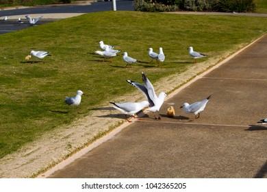 Graceful white seagulls eating a bread bun  left by picnickers  on a sunny winter day on the  lawns at Ocean Beach, Bunbury, Western Australia, with much squawking and  squabbling between themselves.