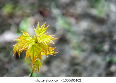 Graceful young leaves of maple Acer mono natural background of the forest or natural garden. Nature concept for early spring. Soft selective focus