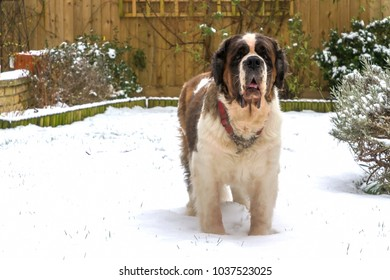 Gracie, a nine year old Saint Bernard, still can't resist getting out in the snow, here in the garden in rural England.