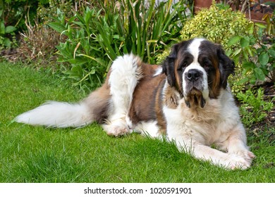 Gracie, our senior Saint Bernard, lounges in the garden.