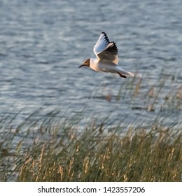 Gracil Black Headed Gull in fligt over the reeds