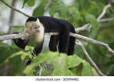 Gracile Capuchin Monkey in a costa Rica tropical forest lying on a tree branch, horizontal image.