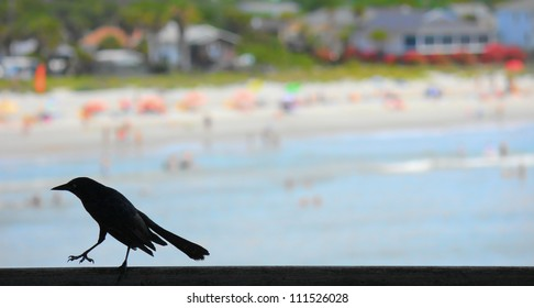 Grackle at the beach. A silhouetted grackle struts on the railing of an ocean pier against the soft focus background of a public beach