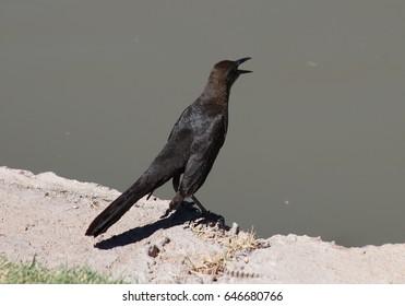 grackle bird Arizona