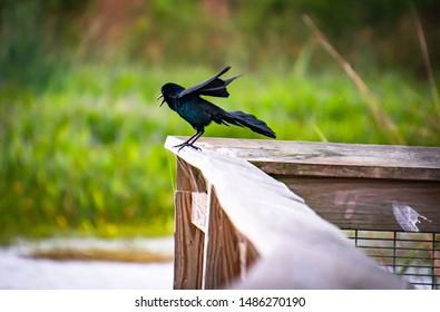 Grackles and Black Birds at Orlando Wetlands Florida.