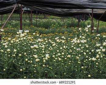 The graden of Chrysanthemum