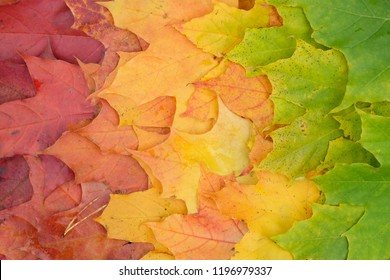 The gradient of autumn maple leaves from red to green with a horizontal layout and a pine needle.