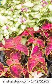 Gradient colors in an undergrowth, the coleus and their decorative foliage