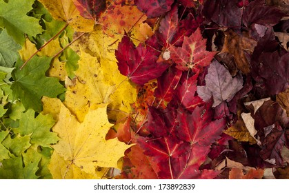 Gradient of Fall Colored Maple Leaves