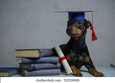 Graduated dog with diploma peeking from behind empty board. isolated on grey background