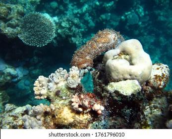 Graeffe's sea cucumber; Echinoderm - type Echinoderm; Holothuria - Holothuridea; Holoturids - Holothuriidae; Graffe's sea cucumber. - Shutterstock ID 1761796010
