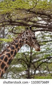 Graffe in Selous Game Reserve, Tanzania