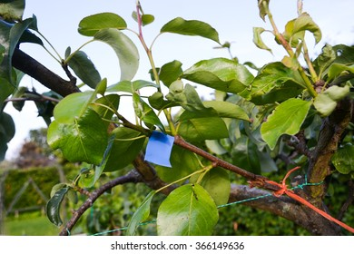 A grafted scion on a pear tree, leafing out