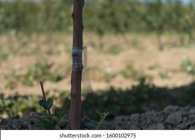 Grafted tree in the apple nursery in summertime