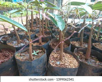 Grafting of Durian in Thailand