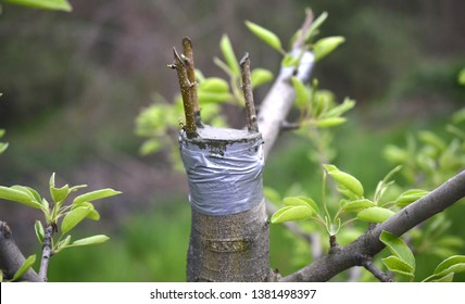 Grafting fruit tree , grafted place by grafting tape