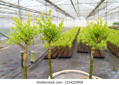grafting on young willow trees in a greenhouse