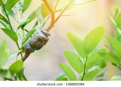 grafting tree plant on lemon tree branch in organic agriculture farm / Lime propagation