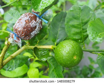 grafting tree plant on lemon tree branch in organic agriculture farm / Lime propagation.