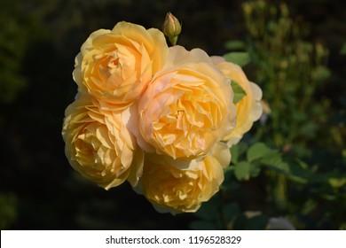 Graham Thomas roses