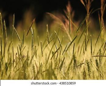 the grain - Shutterstock ID 438510859