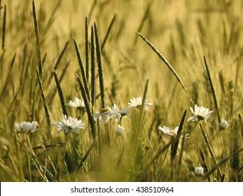 the grain - Shutterstock ID 438510964