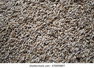 grain of barley