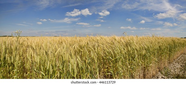 Grain crop ripens under a blue sky and the Summer sunshine of a Western New York field.