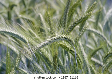 Grain cross of wheat and rye, Triticale, Bavaria, Germany, Europe