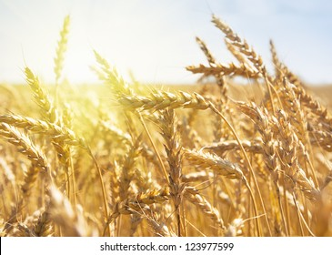 grain in a farm field at sunset time
