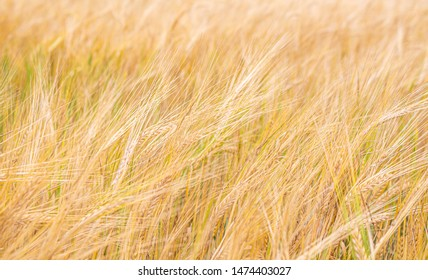 Grain - farmland. Triticale ears moved by the wind - background.