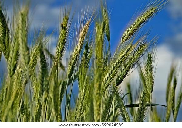 Grain field. Cereals. clear sky.
