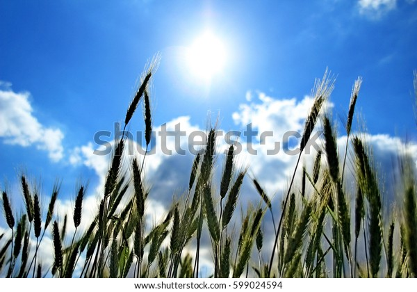 Grain field. Cereals. clear sky.
