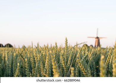 grain field close up with wind mill on the background evening