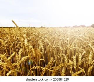 grain field near the village