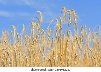 Grain field in the rural landscape