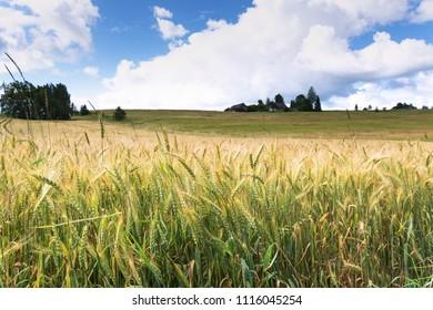 Grain field in summer afternoon.
