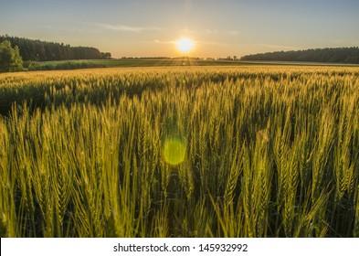 Grain field in the sundown.