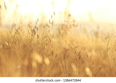 Grain field at sunrise for Background